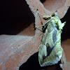Fruit-piercing moth