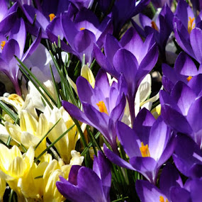 Purple and Yellow Crocus by ChrisTina Shaskus - Nature Up Close Flowers - 2011-2013