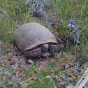Red foot  tortuous