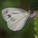Canidia White aka Indian Cabbage White