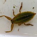 Giant Waterbug