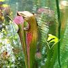Sweet pitcher plant