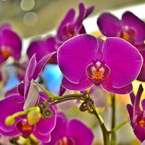 by Abdul Salim - Flowers Flower Arangements (  )