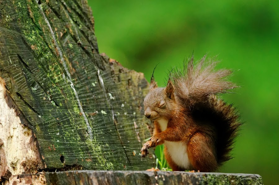 In the wind by Cédric Guere - Animals Other ( wild, red, écureuil, wildlife, squirrel, animal )