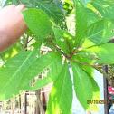 Indian oak / Putat (Tag.)