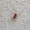 Cupboard spider ♂