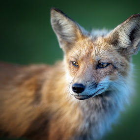 Foxy by Melissa Connors - Animals Other Mammals ( wild, fox, mammal, animal )