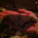 Giant Silkworm Moth / Royal Moth