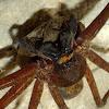 Huntsman spider (mom)