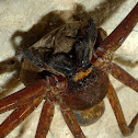 Huntsman spider (mom)