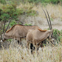 Oryx - Beisa Oryx - Swahili Choroa