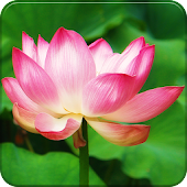 Pink Lotus GO Launcher Theme