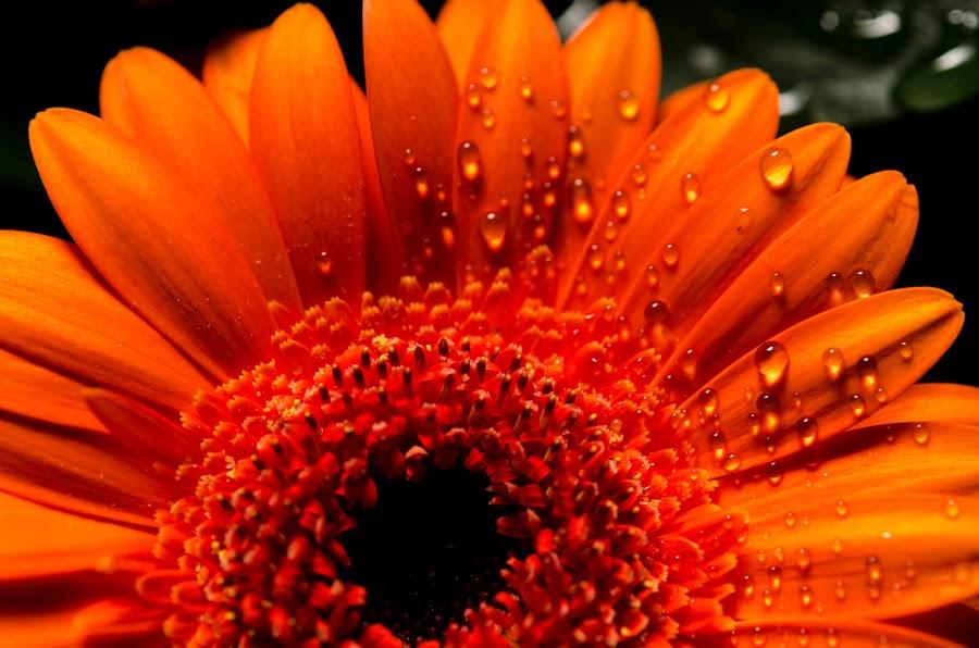 Gerbera by John Westwood - Flowers Single Flower (  )