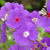 Melastomatacea flower