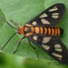 [G] Tiger moth