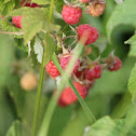Raspberry / Bringebaer