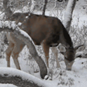 Winter Deer Live Wallpaper icon