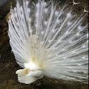 Weißer Pfau / White Indian Peacock
