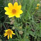 Tickseed Sunflower