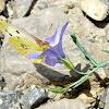 Colias croceus