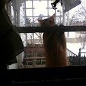 Domestic North American house cat