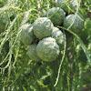 Bald Cypress cones