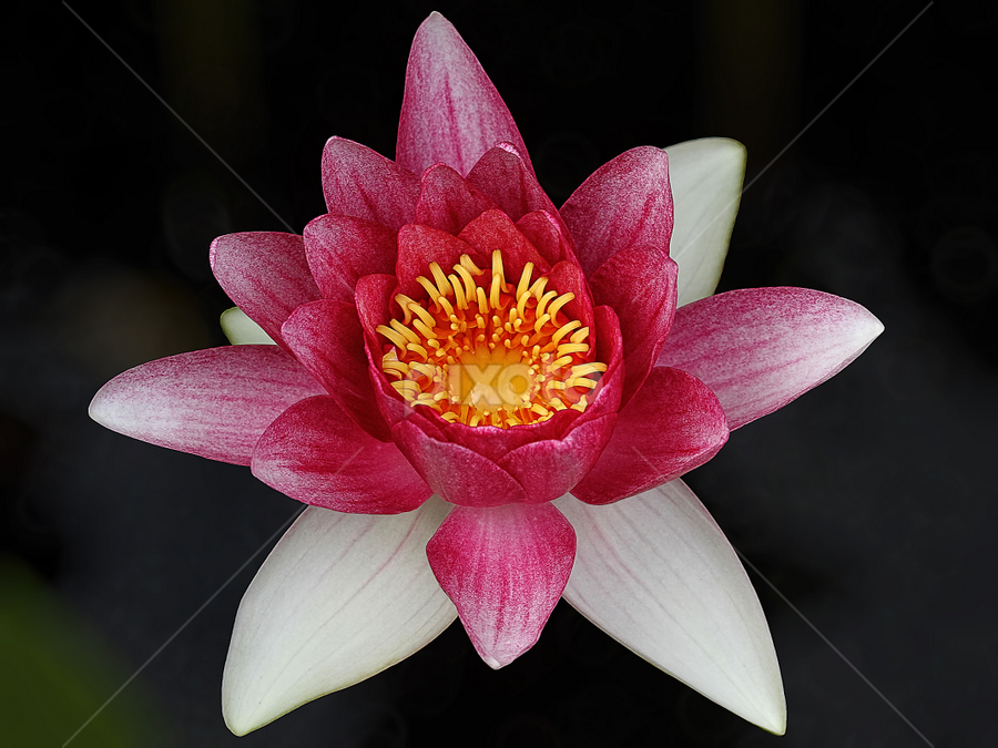 Water Lily by Nikola Vlahov - Flowers Single Flower ( showy, petals, water lily, close up, flower )