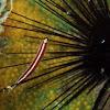 Urchin clingfish