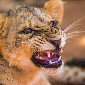 a Little angry by Lourens Lee Wildlife Photography - Animals Lions, Tigers & Big Cats ( big cat, lion, wildlife, lourens lee, africa, lion cub, animal,  )
