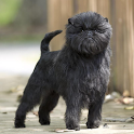 Dog Puzzle: Affenpinscher icon