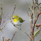 Kacamata gunung / Mountain White-eye