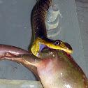 Green Tree Snake, Yellow-bellied Black Snake, Grass Snake