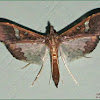 Maruca Pod Borer Moth