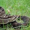 Guatemalan Rattle Snake