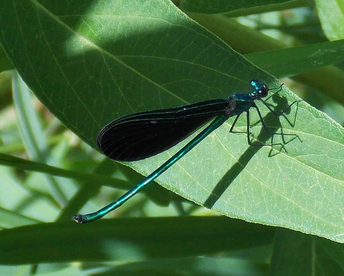 Ebony Jewelwing(male)