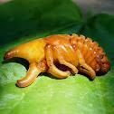 Siamese Rhinoceros Beetle (pupa)