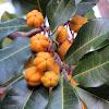 Carrotwood fruit