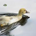 Muscovy duck (immature)