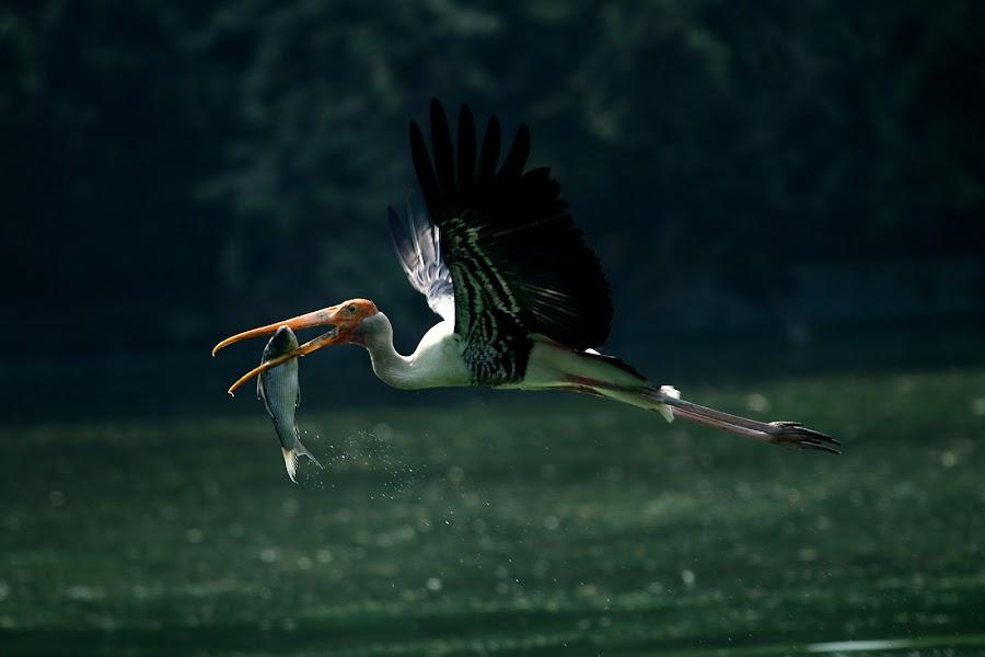 paited stork by Nagaraju Govindu - Animals Birds