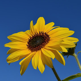 Blue Sky With Flower by Ed Hanson - Flowers Single Flower ( sky, blue, yellow, close-up, flower )