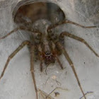 Barn Weaver Spider