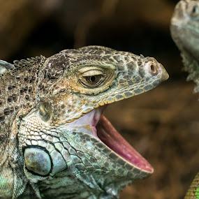 Green Iguana by Adele Price - Animals Reptiles (  )