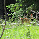 Black-tail Deer