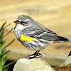 Yellow-Rumped Warbler (Myrtle Butterbutt)