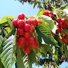 Sweet cherry. Cerezo dulce