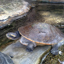 Pink-bellied short-necked turtle