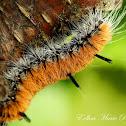 Alder Dagger Moth (Caterpillar)