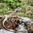 變色樹蜥,俗名雞冠蛇