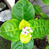 Yellow-Vein Eranthemum and Golden Pseuderanthemum
