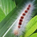 Lasiocampid Caterpillar